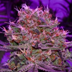 marijuana-strain-mexican-sativa-oaxacan-highland-gold